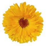 Calendula de fleur Photo stock