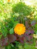 Calendula del fiore Fotografia Stock