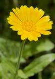 Calendula in een tuin Stock Afbeelding