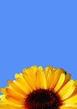Calendula en el fondo azul aislado Imagen de archivo