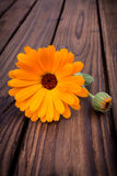 Calendula. fiori  Fotografia Stock