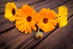 Calendula. fiori  Immagini Stock Libere da Diritti