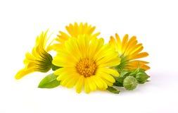 Calendula fiori con le foglie isolate su bianco fotografie stock libere da diritti
