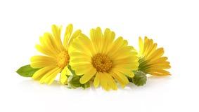 Calendula fiori con le foglie isolate su bianco immagini stock libere da diritti
