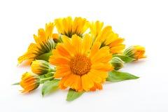 Calendula. flores aisladas en blanco Fotografía de archivo libre de regalías