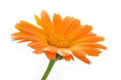 The calendula flower Royalty Free Stock Image
