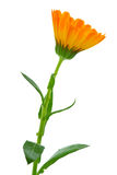 Calendula flower. Herbs: calendula flower isolated on the white background Royalty Free Stock Photo