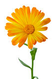 Calendula flower Stock Image