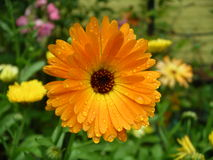 Calendula flower. Marigold flower in the garden Stock Photo