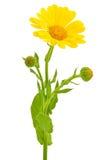 Calendula flower Royalty Free Stock Photography