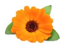 Calendula flower Stock Photo