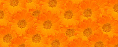 Calendula Flower Background Stock Photo