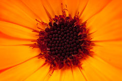 Calendula flower Stock Images