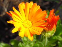 Calendula flower in bloom. Beautiful orange flower of marigold Royalty Free Stock Photo
