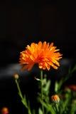 Calendula flower Royalty Free Stock Image