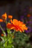 Calendula flower Stock Images