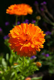 Calendula flower Royalty Free Stock Image
