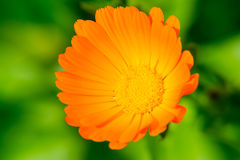 Calendula flower close up on blurred background. The orange flower. A medicinal herb Royalty Free Stock Image