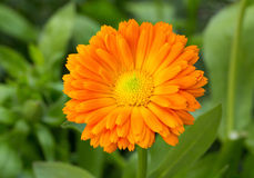 Calendula flower Stock Photos
