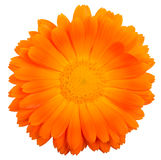 Calendula flower close-up. Calendula flower,  on white Stock Images