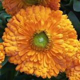 Calendula flower closeup Stock Photography
