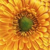 Calendula flower closeup Stock Photos