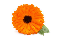 Calendula flower. Stock Photos