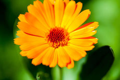 Calendula flower. In the garden stock images