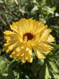Calendula flower royalty free stock photos