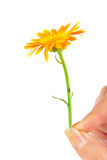 Calendula flower in hand Stock Photography