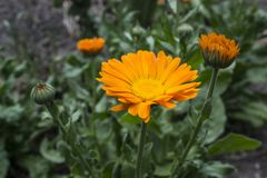 Calendula Flower, Herbal Medicine. stock photos