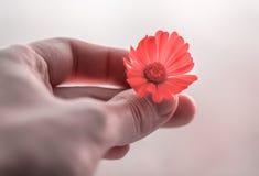 Calendula flower. Royalty Free Stock Photo
