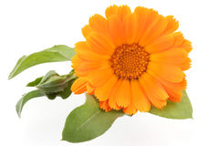 Calendula. Flower isolated on white Stock Photo