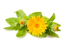 Calendula. Flower isolated on white Stock Images