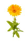 Calendula. Flower isolated on white Royalty Free Stock Photos