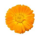 Calendula flower isolated on white background Royalty Free Stock Photography