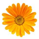 Calendula flower isolated on white Stock Images