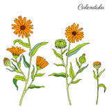 Calendula flower isolated on white background, botanical hand drawn doodle sketch marigold, vector illustration for Royalty Free Stock Image