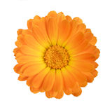 Calendula. Flower of calendula isolated on a white background with clipping path Royalty Free Stock Photo