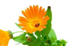 Calendula flower and ladybug on white background Stock Images