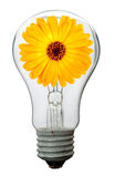 Calendula flower in lamp Stock Photo
