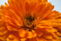 Calendula flower. Large bright flower Stock Image