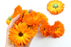 Calendula flower, marigold in hand Stock Photography