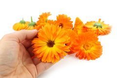Calendula flower, marigold in hand Royalty Free Stock Photos