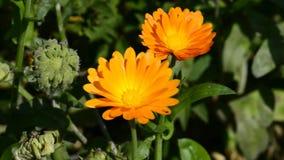 Calendula flower stock video