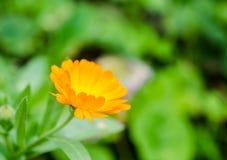 Calendula flower Stock Photos