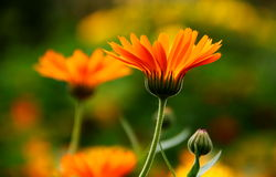 Calendula Flower Royalty Free Stock Photo