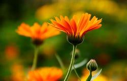 Calendula Flower. Orange colored flowers of calendula Royalty Free Stock Photo