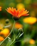 Calendula Flower. Orange colored flowers of calendula Stock Photos