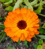 Calendula flower. A picture of a flower calendula Royalty Free Stock Image